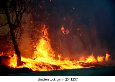 Eucalyptus trees on fire