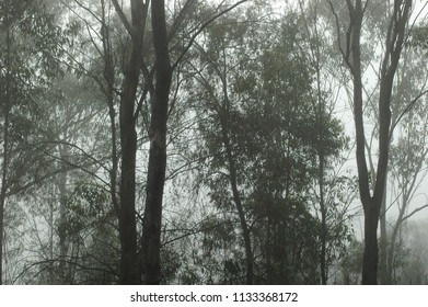 Eucalyptus trees are seen silhouetted in a morning mist. The green of the leaves is just visible.