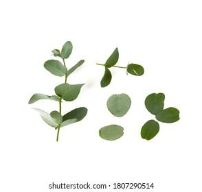 eucalyptus twig isolated on white background