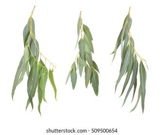 Eucalyptus twigs. Isolated on white background.
