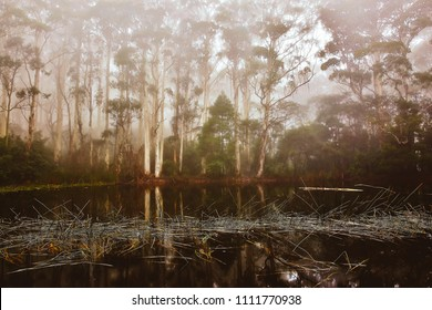 Eucalyptus viminalis or manna gum trees lining Sanatorium Lake, Australia, in winter mist