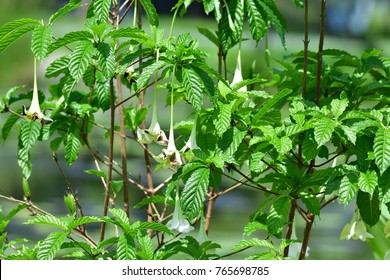 Euclinia longiflora Salisb. (African Angel Trumpet, Tree Gardenia) ; The white flowers hanging on tree, like a beautiful fairy flying on Little Wing. With dark green leaves, oval shape, wavy and large