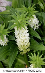 Eucomis autumnalis, Autumn pineapple flower, Autumn pineapple lily, bulbous ornamental herb with a rosette of leaves and dense raceme of white flowers turning green with age topped by a cap of leaves