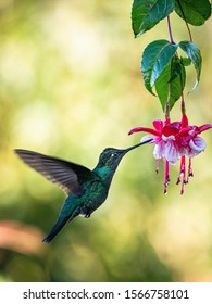 Eugenes fulgens, Rivolis hummingbird The Hummingbird is hovering and drinking the nectar from the beautiful flower in the rain forest. Nice colorful background.