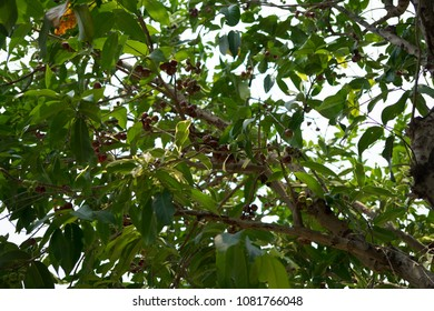Eugenia javanica Lam.  Java apple.The tree is 3-10 meters tall, bark, smooth, single leaf, straight or oval, parallel to 3-8 cm long, 6 to 14 cm long.