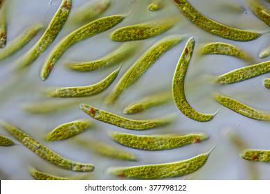 Euglena spirogyra - schraubiger Augenflagellat, 100µ, culture, focus: flagellum, eyespot, large paramylon grains, chloroplasts, conspicuously spiraled pellicle - DIC - microscopic photo