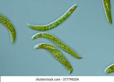 Euglena spirogyra - schraubiger Augenflagellat, 100µ, focus: flagellum, eyespot, large paramylon grains, chloroplasts - DIC - microscopic photo