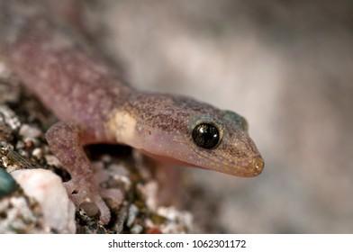 Euleptes europaea (European leaf-toed gecko)