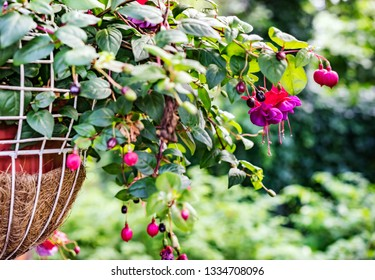 Euonymus europaeus in flower pot, known as spindle, is a deciduous shrub or small tree in the family Celastraceae. The fruit is poisonous