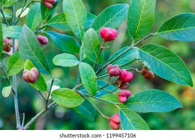 Euonymus europaeus. Fruits in autumn of spindle tree.