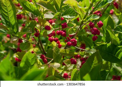 Euonymus europaeus (spindle tree, burning-bush, strawberry-bush, wahoo, wintercreeper) with red  toxic fruits in autumn. Selective focus, shallow DOF