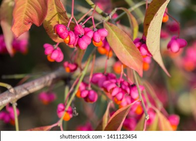 Euonymus europaeus (spindle tree, burning-bush, strawberry-bush, wahoo, wintercreeper) with red toxic fruits in autumn.