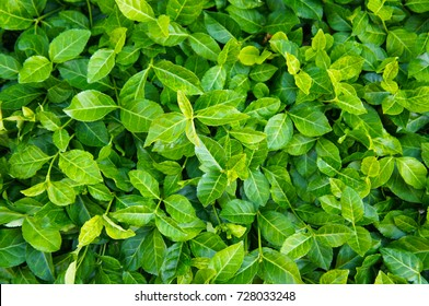 Euonymus fortunei coloratus purple leaf wintercreeper groundcover green plant