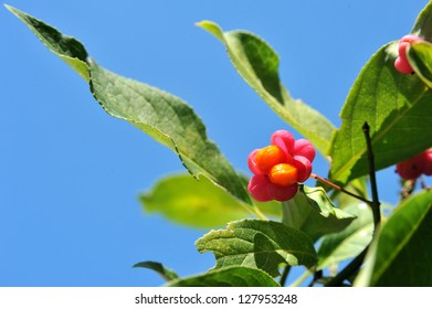 Euonymus fruit from the tree in the background of blue sky