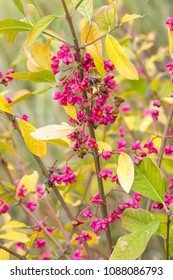 Euonymus. but include spindle or spindle tree, burning-bush, strawberry-bush, wahoo, wintercreeper, or simply euonymus.