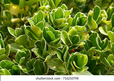 Euonymus japonicus or Japanese euonymus green and yellow shrub plant