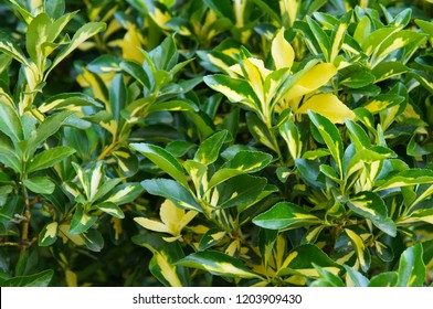 Euonymus japonicus mediopictus or japanese spindles evergreen shrub