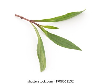 Eupatorium fortunei Turcz ,branch green leaves isolated on white background with clipping path. top view,flat lay.