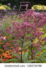 Eupatorium maculatum Atropurpureum 'Purple Bush' (Joe Pye Weed) in a Country Cottage Garden in Rural Devon, England, UK