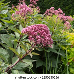 Eupatorium maculatum Atropurpureum 'Riesenschirm' (Joe Pye Weed) in a Country Cottage Garden in Rural Devon, England, UK