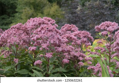 Eupatorium maculatum 'Atropurpureum' (Spotted Joe Pyeweed) in a Country Cottage Garden in Rural Devon, England, UK