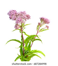 Eupatorium. Most are commonly called bonesets, thoroughworts or snakeroots.