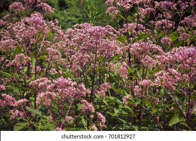 Eupatorium species. Plant pink Joe Pye with unbroken buds, close-up. Against the background of the garden