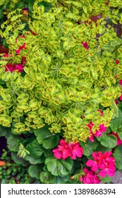 Euphorbia 'Ascot Rainbow' in flower