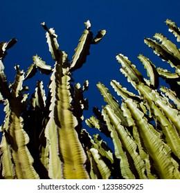Euphorbia candelabrum - candelabra tree on the dark blue sky bac