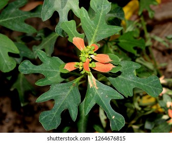 Euphorbia cyathophora, paintedleaf, Fire-on-the-mountain, herbaceous plant with milky latex, alternate, fiddle shaped often lobed leaves with reddish-orange basal patch, cyathia small, green.