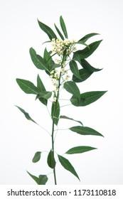 Euphorbia fulgens Quicksilver