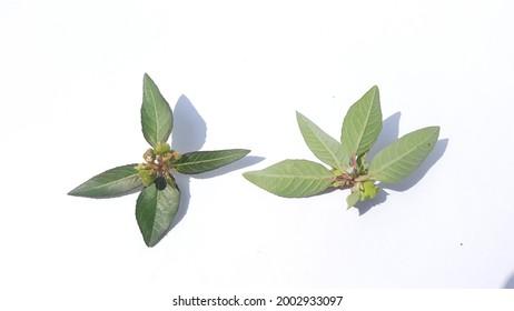 Euphorbia heterophylla  isolated on white background.fireplant,painted euphorbia,Japanese poinsettia,desert poinsettia,wild poinsettia, fire on the mountain, paintedleaf,painted spurge,milkweed