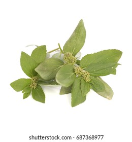 Euphorbia hirta L, a popular folk medicine for treating gout in Asia. Non sharpen file