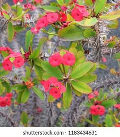 Euphorbia Milii in flower