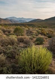 Euphorbia plant in a desolate rural landscape near Montagu. Western Cape. South Africa