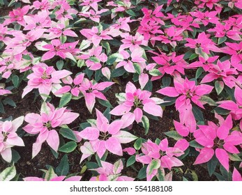 Euphorbia pulcherrima 'Pink', cultivar with smaller pink bracteal leaves with green tones, popular house plant during Chistmas.