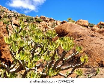 Euphorbia regis-jubae, food plant of Hyles tithymali.