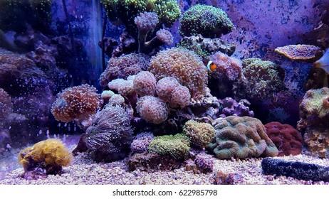 Euphyllia LPS coral