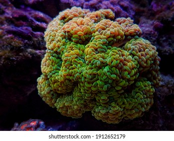 Euphyllia paraancora - Branched hammer LPS coral