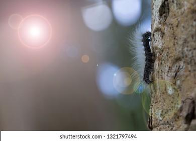 Eupterote Testacea (Walker) or Black worm, white shag.