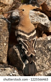 Eurasia Hoopoe or Common Hoopoe (Upupa epops), perched on the rocks, entrance to the nest