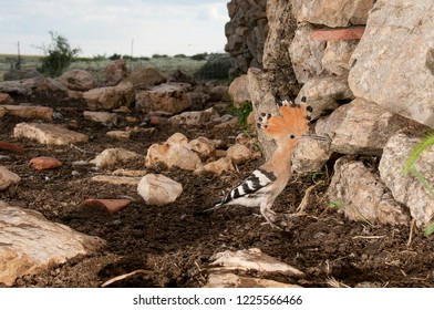 Eurasia Hoopoe or Common Hoopoe (Upupa epops), entering the nest in an old hut