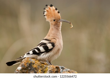Eurasia Hoopoe or Common Hoopoe (Upupa epops), with food in the beak