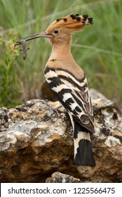 Eurasia Hoopoe or Common Hoopoe (Upupa epops), with Lizard on its beak