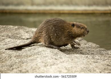 Eurasian beaver (Castor fiber) .