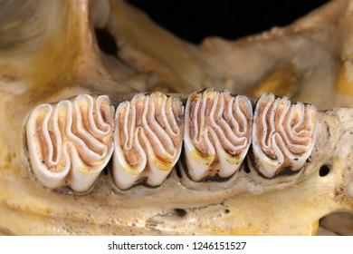 Eurasian beaver (Castor fiber Linnaeus, 1758) maxillary permanent teeth (chewing surface)