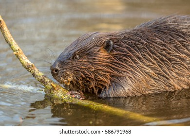 Eurasian beaver (Castor fiber) as one of the largest rodents in the world, It is well adapted to fulfill its role as a vital engineer of marshland habitats