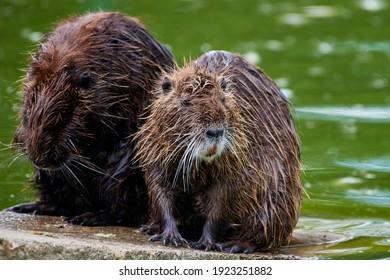Eurasian beaver (castor fiber) sitting on a rock near water