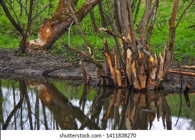 The Eurasian beaver or European beaver (Castor fiber) is a species of beaver which was once widespread in Eurasia. Beaver dam with damaged trees.