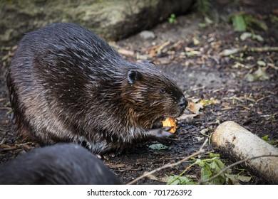 A Eurasian beaver of North America, Canada.